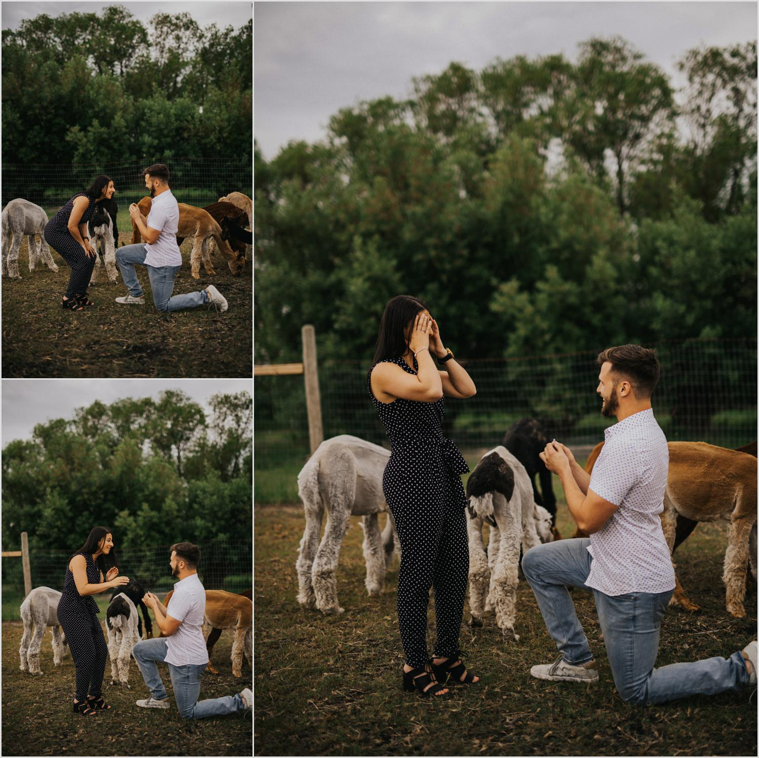Alpaca Proposal in Winnipeg