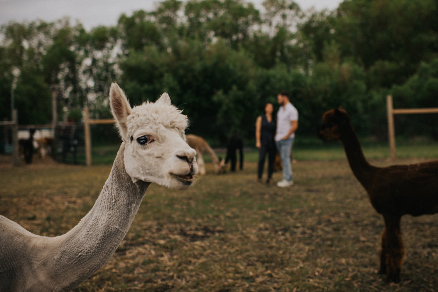 Engagement photos with Alpacas