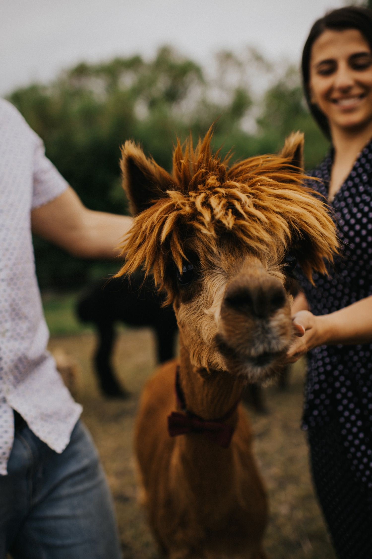Alpaca Engagement Photos