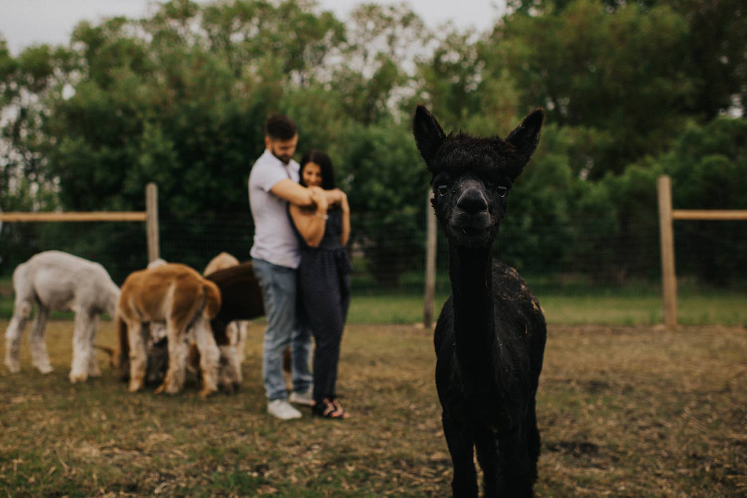 Winnipeg Alpaca Proposal